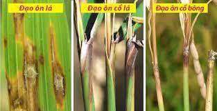 Bệnh Đạo Ôn - Phương pháp phòng trừ bệnh đạo ôn cho lúa