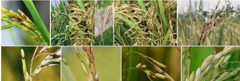 Bệnh lem lép hạt ở lúa và biện pháp phòng trừ