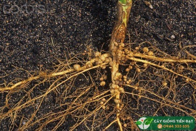 Tuyến trùng - cách phòng trừ tuyến trùng hại cây hiệu quả