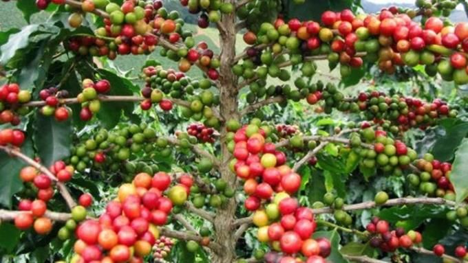 Giá cà phê hôm nay 7/9: Nông sản đồng loạt tăng