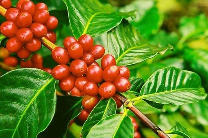 Giá cà phê hôm nay 10/9: Giảm nhẹ, mất mốc 40 triệu đồng/tấn