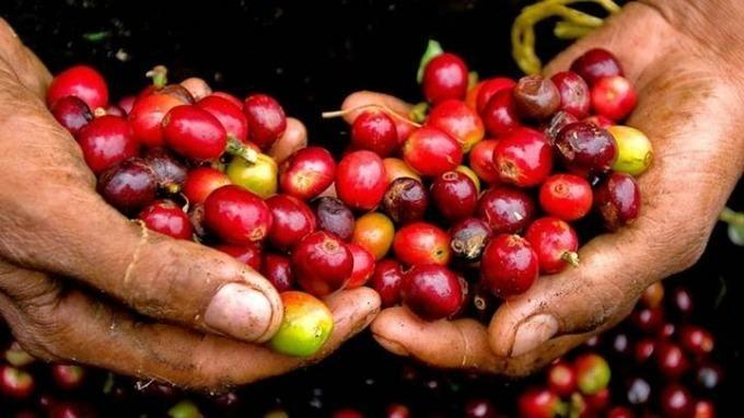 Giá cà phê hôm nay 11/9: Dừng đà giảm
